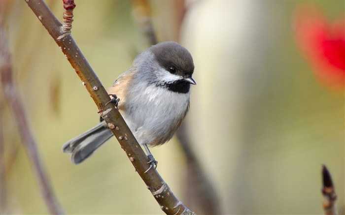 Canada - Northern tits wallpaper Views:9567