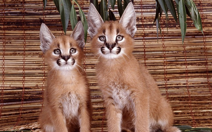 Caracal lynx lynx badger wallpaper Views:22113
