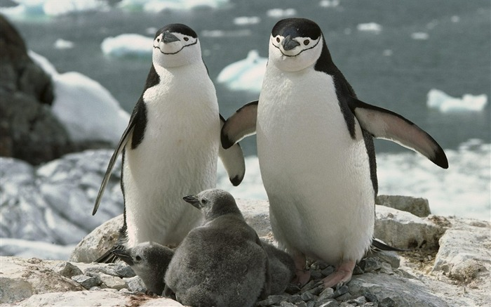 Chinstrap Penguin Parents and Chicks Antarctica Views:13045