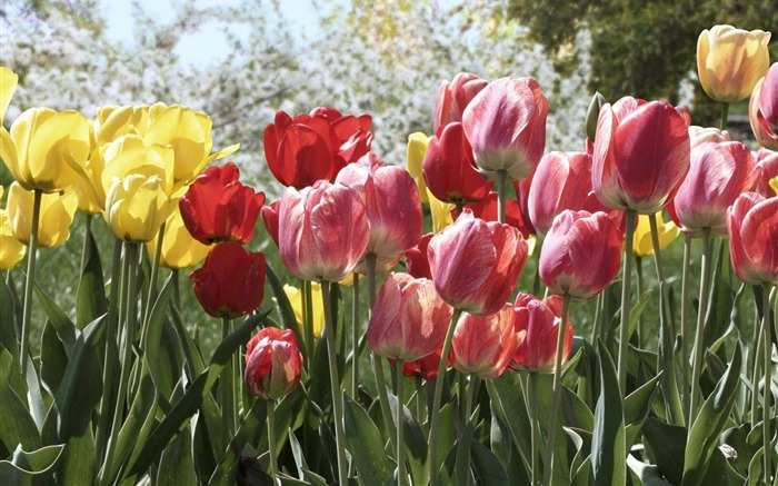 Colorful Tulips wallpaper Views:5879
