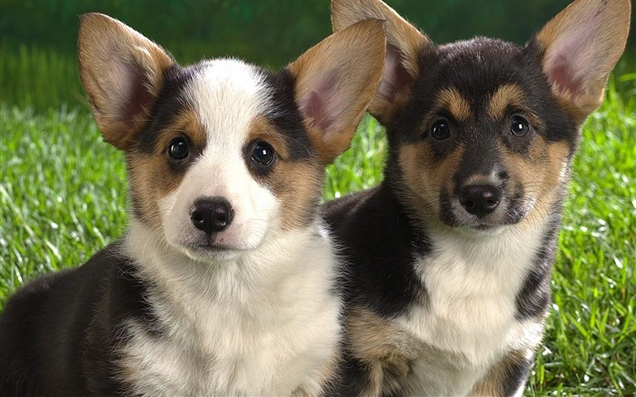 Corgi puppies wallpaper Views:10966