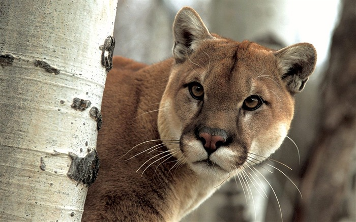 Cougar Wallpaper 02 Views:8747