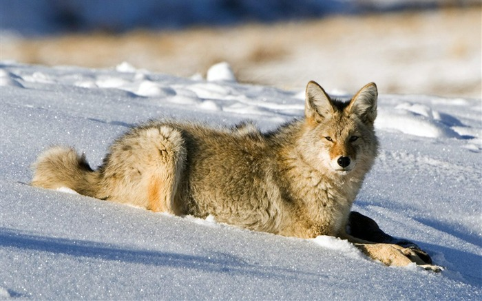 Coyote Lamar Valley Yellowstone National Park Views:7271