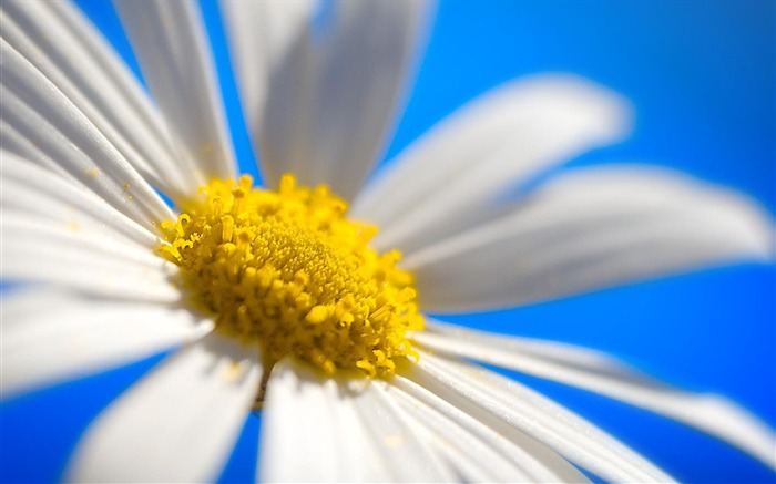 Daisy wallpaper Views:7437