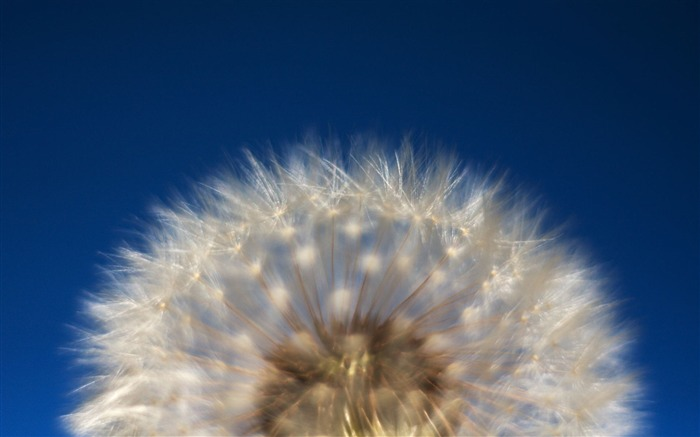 Dandelion wallpaper Views:11119