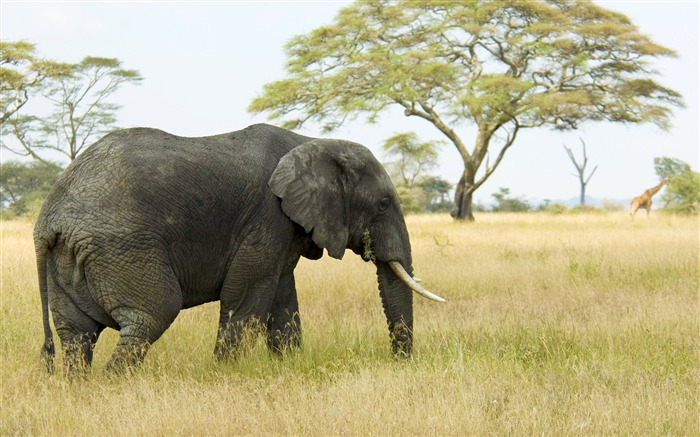 Elephant wallpaper Views:21573