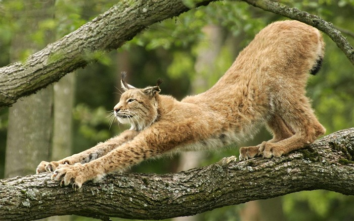 European lynx wallpaper Views:11028