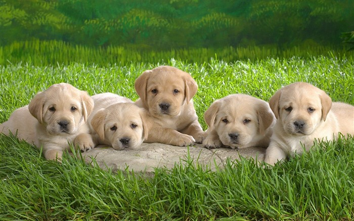 Five small Labrador Wallpaper Views:21152