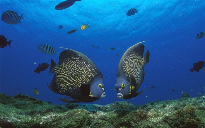 French Angelfish Pair Rocas Atoll Brazil Views:4141