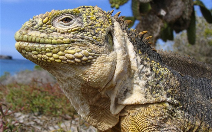 Galapagos Islands - Land Iguana Wallpaper Views:5686