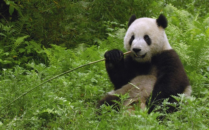 Giant Panda Eating Bamboo Wolong Reserve Sichuan Province China Views:14522