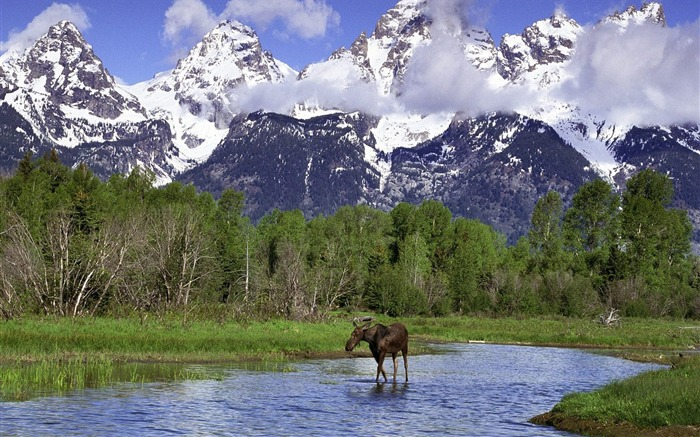 Grand Teton National Park Moose Wallpaper Views:10335