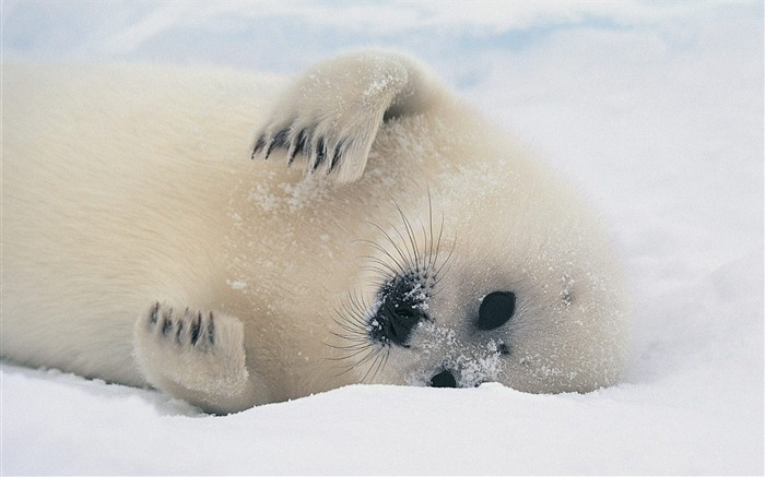 Greenland seals wallpaper small Views:18079