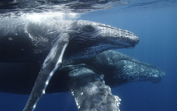 Humpback whale mother and son wallpaper Views:6496
