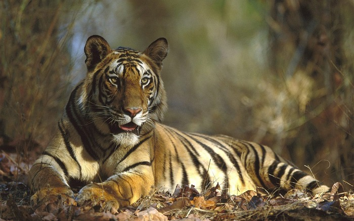 India Ban De Hafu National Park - the Bengal tiger wallpaper Views:5826
