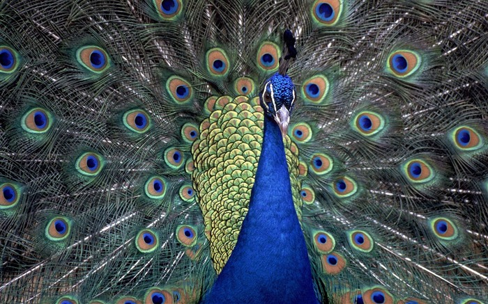 Indian Blue Peacock Wallpaper Views:7985