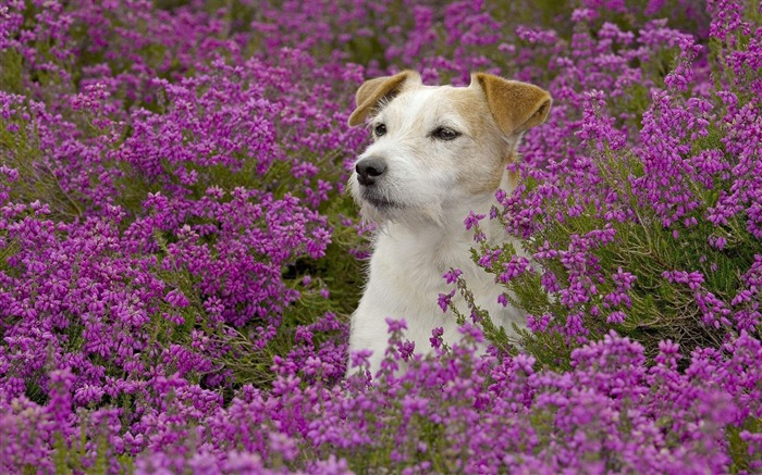 Jack Russell Terrier wallpaper Views:6547