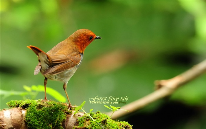 Japanese songs Robin-spring woodland birds wallpaper Views:15674
