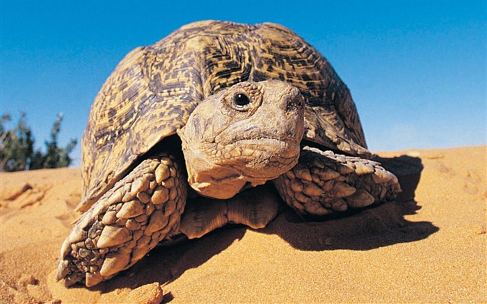 Kalahari Desert - Leopard tortoise wallpaper Views:10368