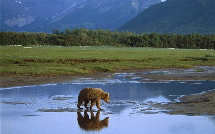 Katmai National Park - a grizzly bear wallpaper Views:8916