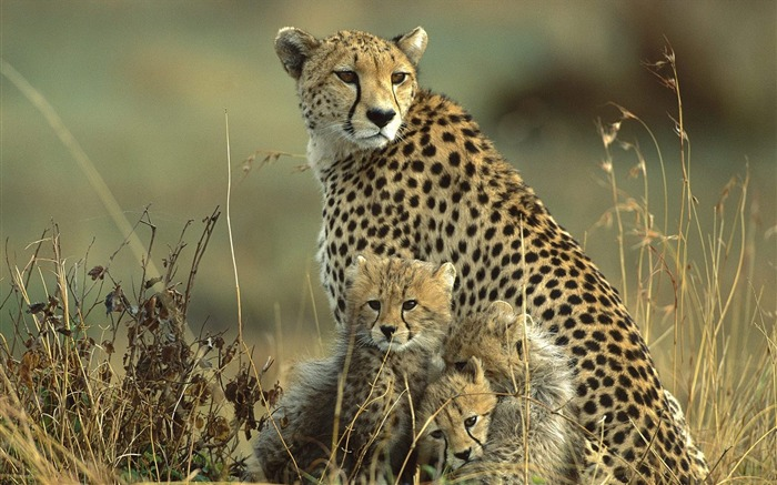 Kenya - mother cheetah and cubs wallpaper Views:8437