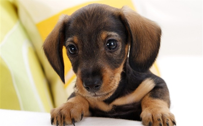 Little Dachshund Wallpaper Views:9612