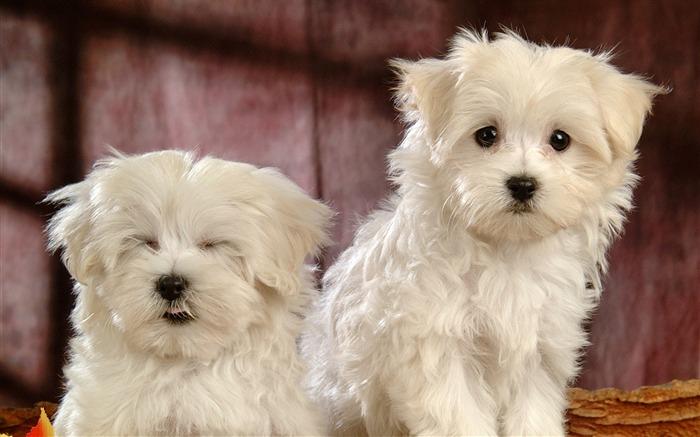 可爱的小白色蓬松的小狗壁纸08