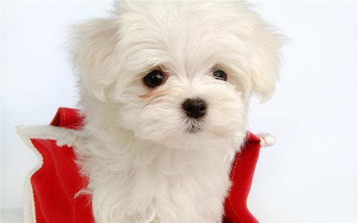 可爱的小白色蓬松的小狗壁纸32 浏览:3684