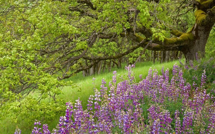 Lupine and Oak Tree Redwood National Park California wallpaper Views:3511