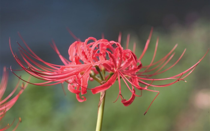 Lycoris Radiata Tiger lily flower photo Picture Views:6095
