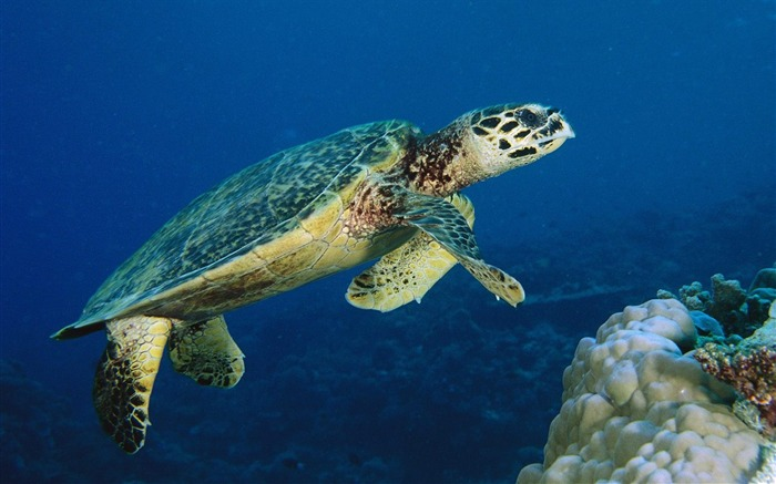 Malaysia - sea turtle wallpaper Views:16451