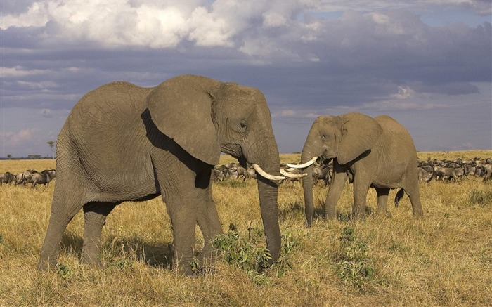 Masai Mara - African elephant wallpaper Views:6377