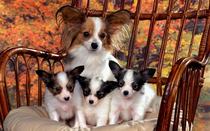 Papillon Mom and Puppies Views:4596