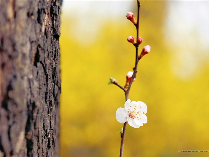 Plum Peach and Flower Buds Picture Views:4333