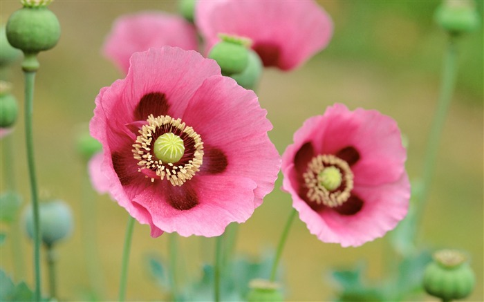 Poppies wallpaper Views:14612