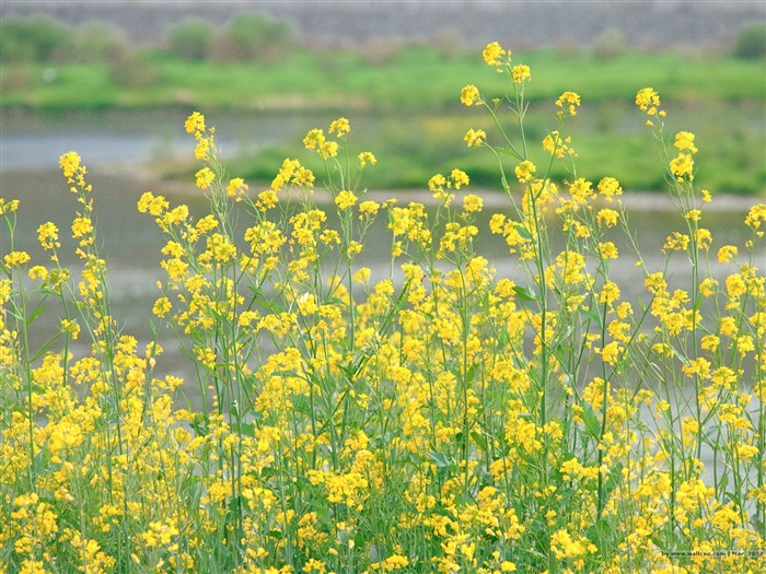 Rapeseed Flower in Field Picture Views:3500