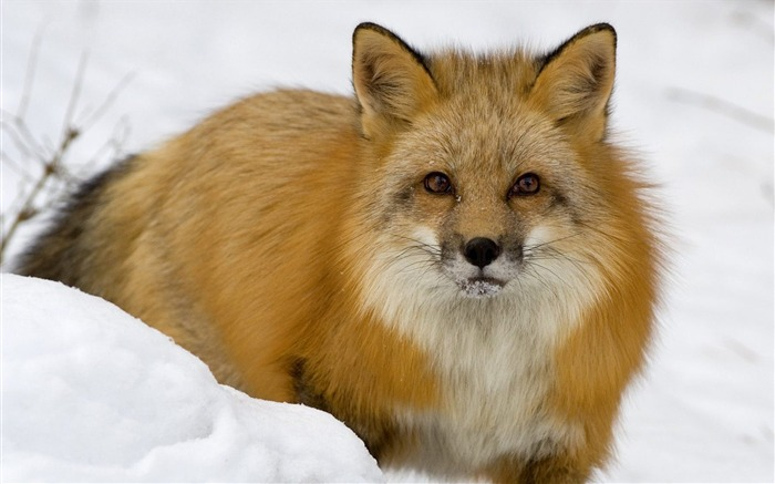 Red Fox in Snow Montana Views:6752