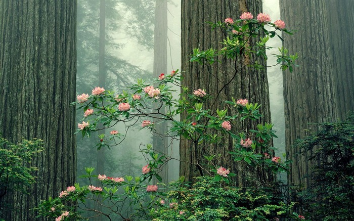 Rhododendrons in Bloom Redwood National Park California wallpaper Views:2975