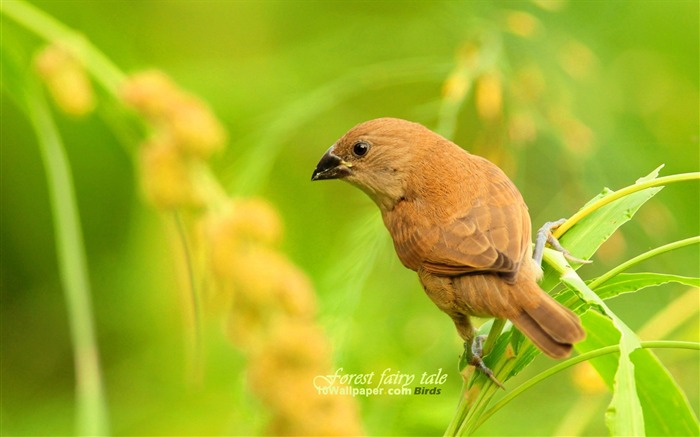 Scaly-breasted Munia-spring woodland birds wallpaper 01 Views:4963