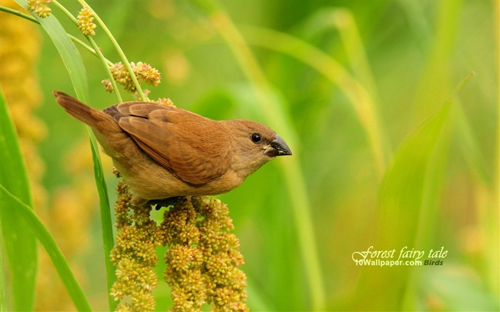 Scaly-breasted Munia-spring woodland birds wallpaper Views:5011