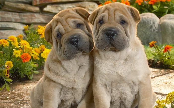 Sharpei dog wallpaper Views:23629
