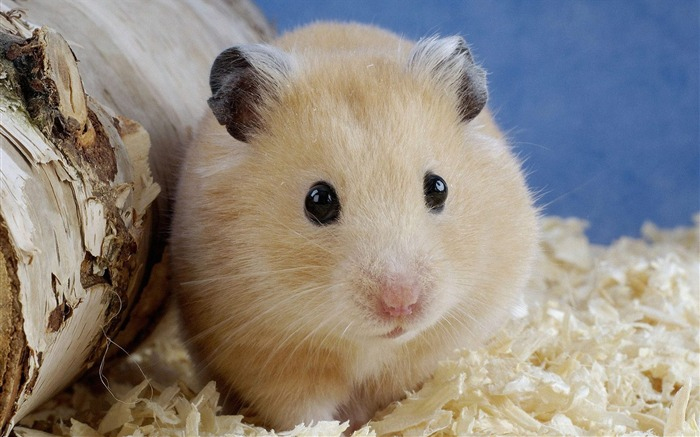 Small hamster wallpaper Views:14975