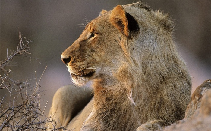 South Africas Kruger National Park African lions wallpaper Views:6727