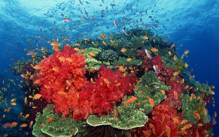 South Pacific coral wallpaper Views:5924