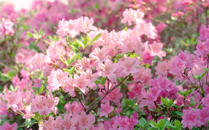Spring Rhododendron Rhododendron Tree in Full Bloom Picture Views:7147