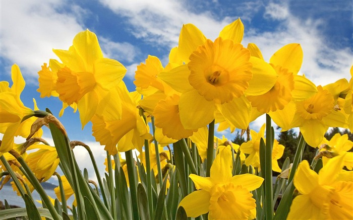 Sunny Daffodils wallpaper Views:8897