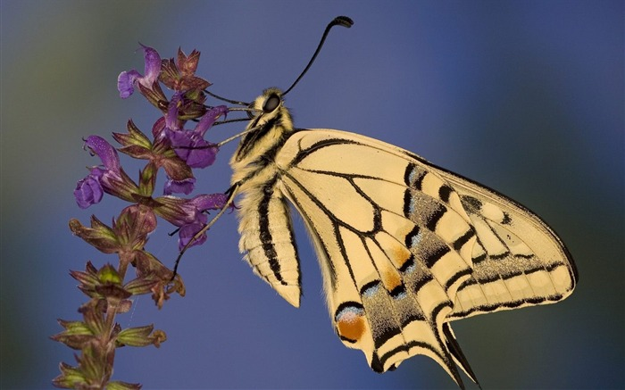 Swallowtail Butterfly wallpaper Views:4907