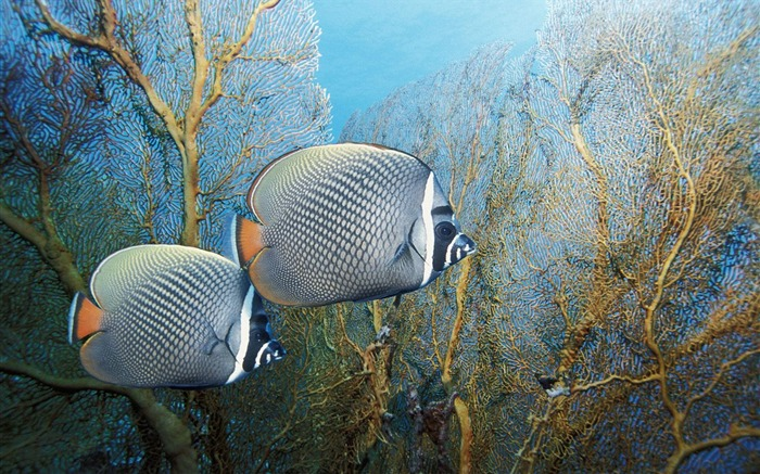 Thailand Andaman Sea Red Collar butterfly fish wallpaper Views:5732