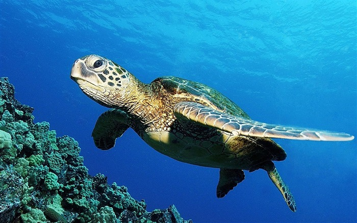 Turtle wallpaper Views:13543