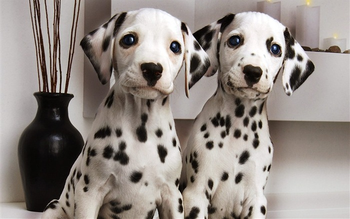Two Dalmatians wallpaper Views:3986